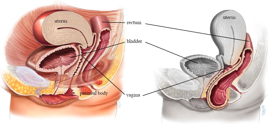 Can between vagina and rectum are